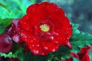 begonia rain