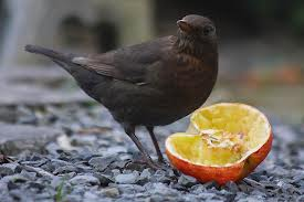 blackbird apple