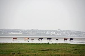 cattle beach
