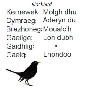 Blackbird Celtic