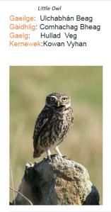 Little Owl Celtic