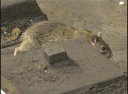 rat track