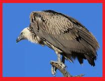 bultur